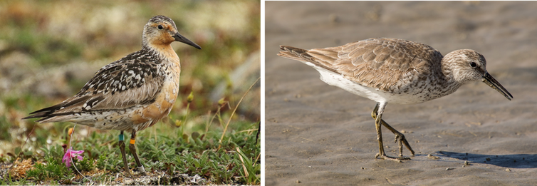 Side-by-side photos of a red knot in summer plumage in the Arctic and in winter plumage in Mexico.