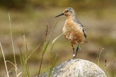 A red knot standing on a rock with a tiny colored flag on its leg.